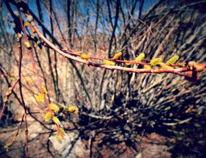 Signs of spring in Big Bear Lake