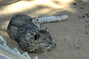 Snow Leopard at the Big Bear Alpine Zoo
