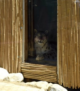 A Snow Leopard relaxes at the Big Bear Alpine Zoo