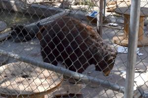 3 Legged Bear playing with a box at the Big Bear Zoo