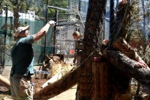 Curator Bob Cisneros feeding the cougars at the Big Bear Zoo